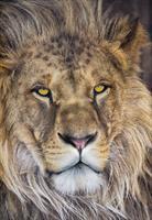 Komar fototapet Lion