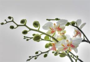 Komar fototapet Orchidee