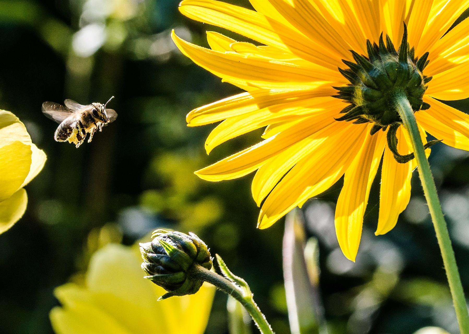 Bi och blomma