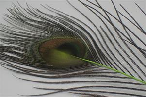 Påfågel ögonfjäder lime