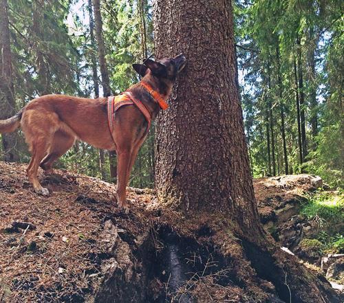 Granbarkborrehund