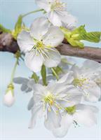 Komar fototapet Blossom Fiber bakside
