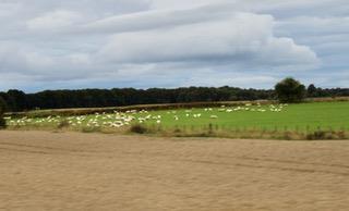 Betande får i Skottland: Foto Reine Lindholm