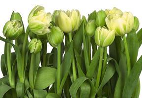 Komar fototapet Tulips
