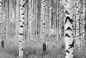 Komar fototapet Woods Fiber bakside