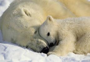 Komar fototapet Polar Bears