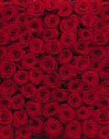 Komar fototapet Roses