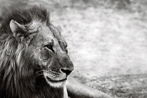 Tavla i plexiglas, Lion