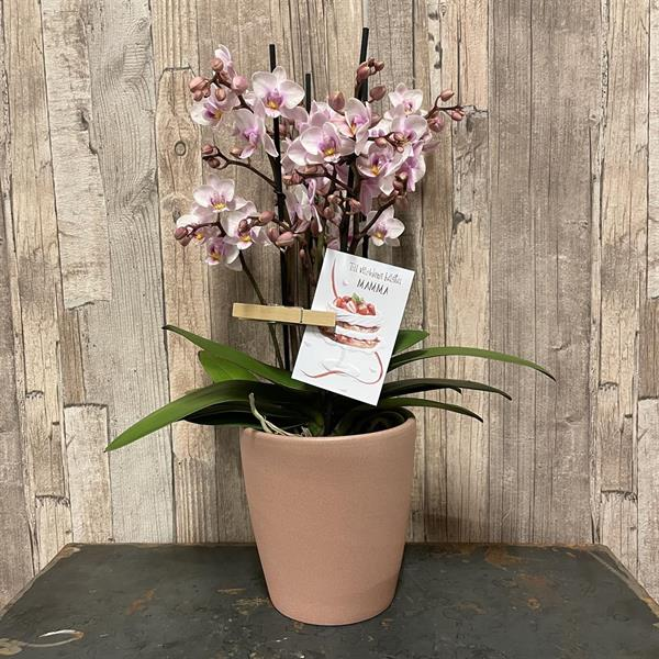 rosa orkide