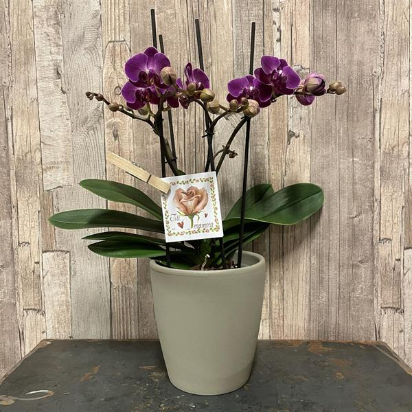 Lila orkide