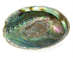 Abalone snäckskal XL 16-18cm