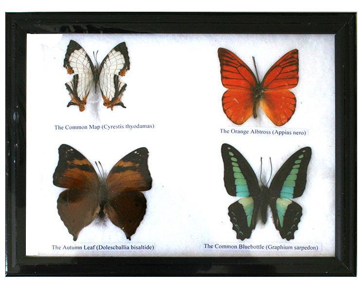 Fjärilar - 4st i en ram (5 pack)
