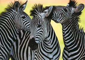 Puslespill Zebra, 500 brikker