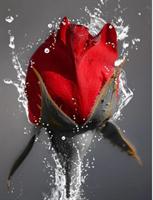 Diamond Painting, Rød rose 40*50cm FPK
