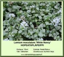 """Hopeatäpläpeippi 'White Nancy"""""""
