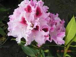 Rhododendron Royal Butterfly ALPPIRUUSU