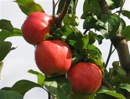 Omenapuu Sävstaholm