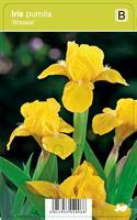 Kääpiökurjenmiekka, keltainen - Iris pumila 'Brassie'
