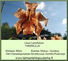 Tiikerililja