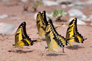 Riddarfjärilar Bolivia