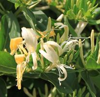Tuoksuköynnöskuusama caprifolium