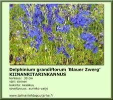 Kiinanritarinkannus 'Blauer Zwerg'