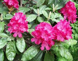 Rhododendron 'Hellikki'