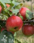 Omenapuu Konsta
