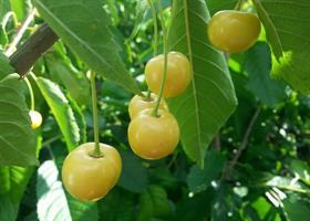 Kirsikkapuu Liettuan keltainen