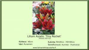Värililja 'Tiny Roket'