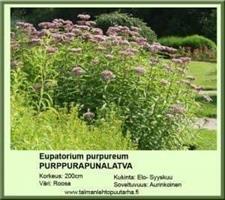 Purppurapunalatva purpureum