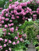 Kanadalainen ruusu John Davis
