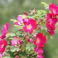 Ruusu Tove jansson