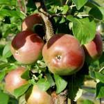 Omenapuu Lobo