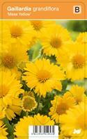 Loistosädekukka 'Mesa Yellow'