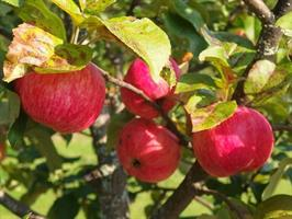 Omenapuu Siloposken hunajainen