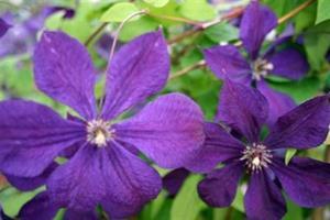 Viinikärhö Etoile violette