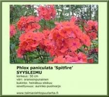 Syysleimu  'Spitfire'