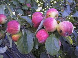 Omenapuu Huvitus