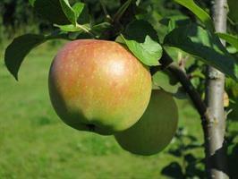 Omenapuu Siloposken Herkku