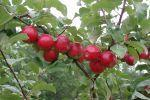 Omenapuu Heta