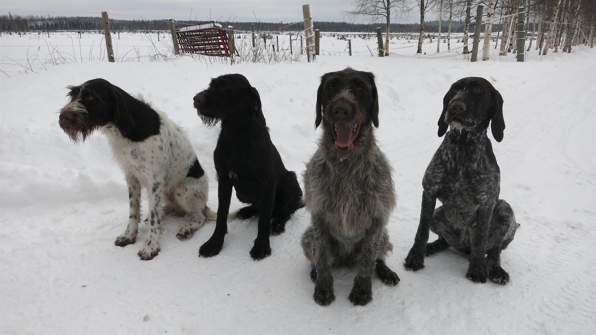 Koirien koulutus