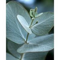 Eucalyptus, Blue  Gum 100 % Essential Oil 10 ml