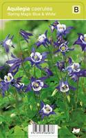 Jaloakileija  'Spring Magic F1 Blue & White'
