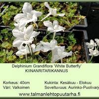 Kiinanritarinkannus 'White Butterfly'