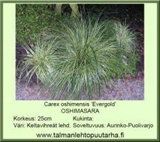 Oshimasara 'Evergold'