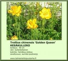 Kesäkullero 'Golden Queen'