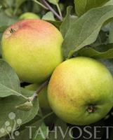 Omenapuu Malus domestica 'Vuokko'