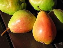 Päärynäpuu Tohtorin päärynä