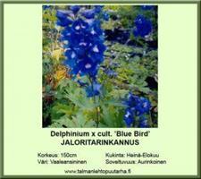 Jaloritarinkannus  'Blue Bird'